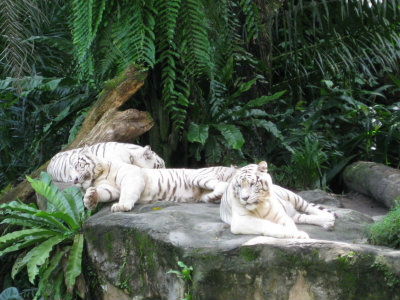 Tigers in Singapore Zoo