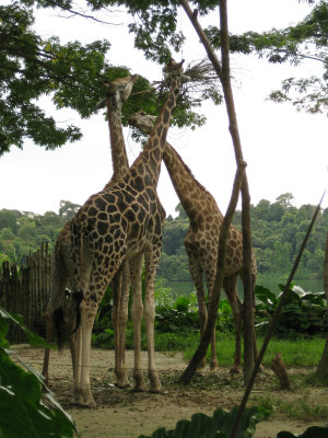 Giraffes in singapore zoo